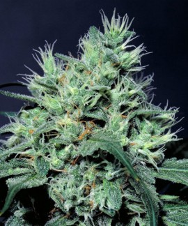 comprar Dutch Dragon de Paradise Seeds