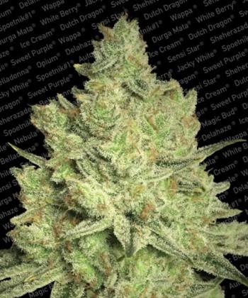 Comprar Jacky White de Paradise Seeds
