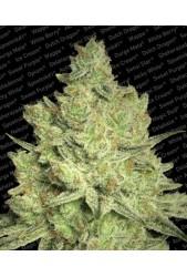 Jacky White de Paradise Seeds