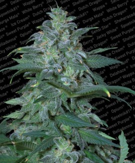 comprar Magic Bud de Paradise Seeds
