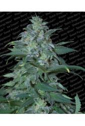 Magic Bud de Paradise Seeds