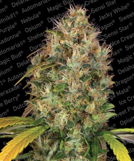 comprar Dutch Kush de Paradise Seeds