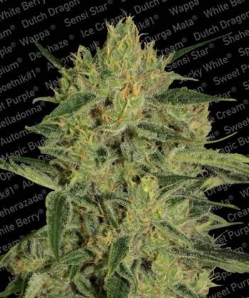 Comprar Nebula II CBD de Paradise Seeds