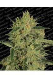 Nebula II CBD de Paradise Seeds