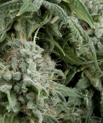 Comprar Auto Northern Lights de Pyramid Seeds