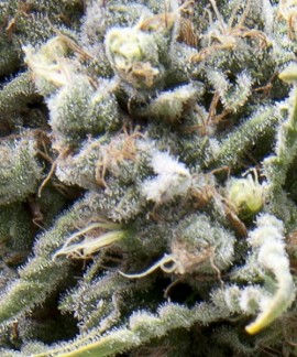 comprar Auto White Widow de Pyramid Seeds