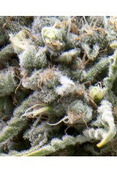 Auto White Widow de Pyramid Seeds