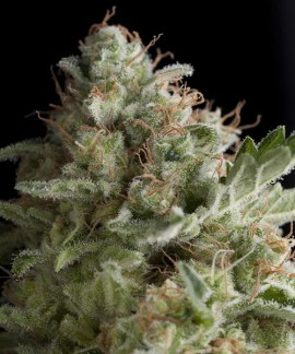American Pie de Pyramid Seeds