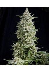 Amnesia Gold de Pyramid Seeds
