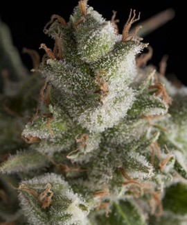 comprar Fresh Candy de Pyramid Seeds