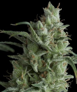 comprar Kryptonite de Pyramid Seeds