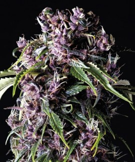 comprar Purple de Pyramid Seeds