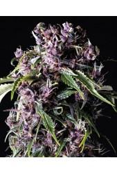 Purple de Pyramid Seeds
