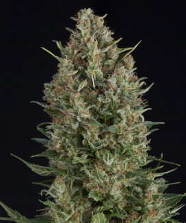 comprar Wembley de Pyramid Seeds