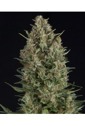 Wembley de Pyramid Seeds