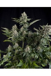 White Widow de Pyramid Seeds