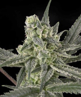 comprar Old School de Ripper Seeds