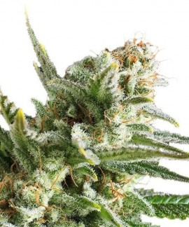 comprar Amnesia Haze de Royal Queen Seeds