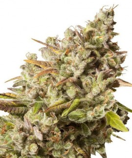 comprar Royal Gorilla de Royal Queen Seeds