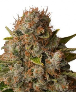 comprar White Widow de Royal Queen