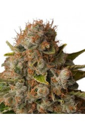 White Widow de Royal Queen