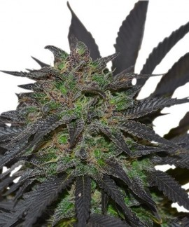 comprar Blue Mystic de Royal Queen