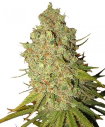 Comprar Special Kush 1 de Royal Queen