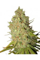 Special Kush 1 de Royal Queen