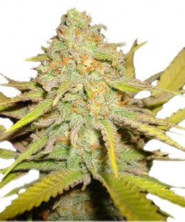 comprar O.G. Kush de Royal Queen