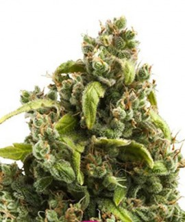 comprar Sour Diesel de Royal Queen