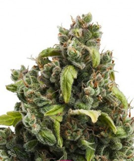 comprar Candy Kush Express-Fast de Royal Queen