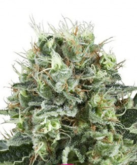 comprar Bubble Kush de Royal Queen Seeds