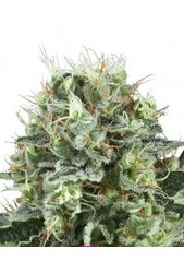Bubble Kush de Royal Queen Seeds