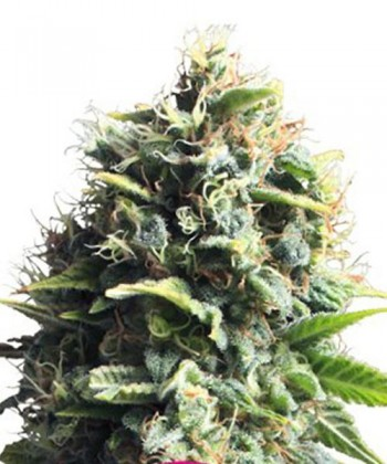 Comprar Pineapple Kush de Royal Queen