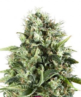 comprar Royal Ak de Royal Queen Seeds