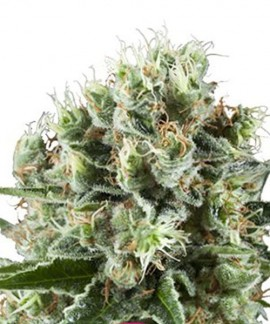 comprar Critical Kush de Royal Queen Seeds
