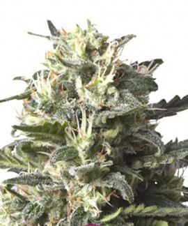 comprar Lemon Shining Silver Haze de Royal Queen