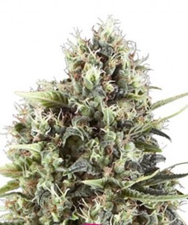 comprar Chocolate Haze de Royal Queen