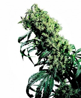 comprar Northern Lights Nº 5 x Haze