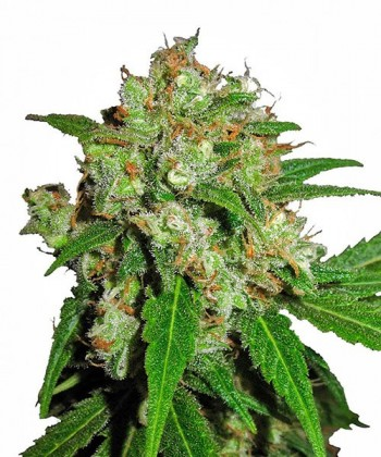 Comprar Kaia Kush de Green House Seeds