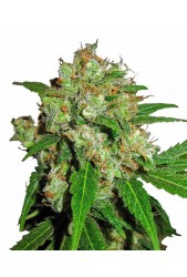 Kaia Kush de Green House Seeds