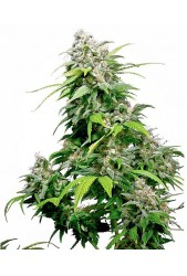 California Indica de Sensi Seeds