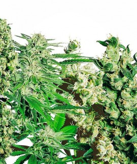 comprar Feminized Mix de Sensi Seeds
