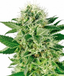 comprar Northern Lights de Sensi Seeds