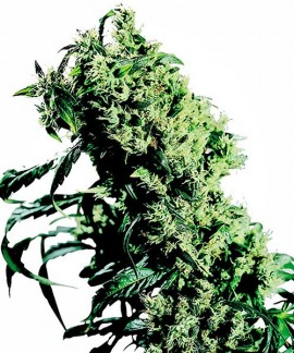 comprar Northern Lights 5 x Haze