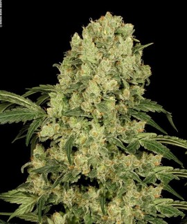 comprar AK 47 Regular de Serious Seeds