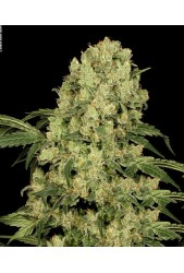 AK 47 Regular de Serious Seeds