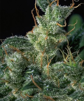 comprar Kali Mist Regular de Serious Seeds