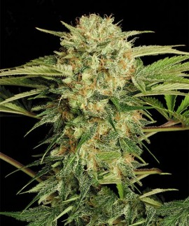 comprar Motavation Regular de Serious Seeds