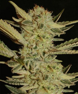 comprar Bubble Gum de Serious Seeds